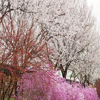 성큼 다가온 봄, 봄꽃 언제 피나요?